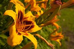DSC_0210 (SebKomo) Tags: nikon d3000 f18 50mm qubec rivire stcharles nature landscape flowers fleurs natural lightning lumire naturelle