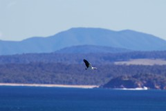 Over the bay (Geoff Main) Tags: australia bird birdofprey birdinflight canon7dmarkii canonef300mmf28lisiiusm canonefextender20xiii coast eagle nsw nswsouthcoast sea whitebelliedseaeagle