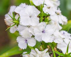 Garden White. (Omygodtom) Tags: flower flickr carnation macro macromonday tamron90mm wildflower outdoors nature nikon d7100