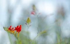 Fire in the meadow (Franci Van der vyver (Carmen Tulum)) Tags: red flower fire lucifer crocosmia fallingstars valentineflower