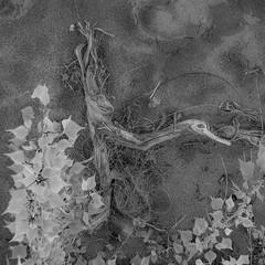 bois (zventure,) Tags: noiretblanc nature monochrome bordsduvar buissons blackandwhite bois alpesmaritimes abstrait abstract arbre carré