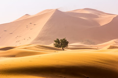 Lonely tree in the Sahara Desert (marcusfornell) Tags: africa afrika morocco marokko sahara saharadiesert desert wste sand sanddune dunes yellow tree lonely vast big nature landscape wonder beautiful merzouga travel reise alone northafrica westsahara