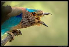 Beauty of The Nature (asifsherazi) Tags: pakistan bird indianroller headbaloki asifsherazi