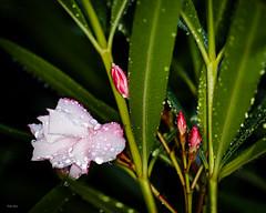 Beauty Oleander (1) (Dieter Gora) Tags: rain droplets drops oleander neriumoleander rosenlorbeer