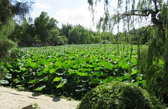 Ancient Lotus Garden (Baoding, Hebei) (courthouselover) Tags: china 中国 peoplesrepublicofchina 中华人民共和国 hebei 河北 hebeiprovince 河北省 冀 lianchidistrict 莲池区 baoding paoting 保定 asia