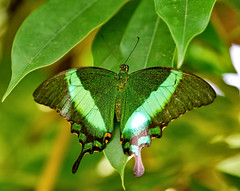 Emerald Swallowtail - Papilio palinurus (Oldt1mer - Keith) Tags: butterfly insect emeraldswallowtail papiliopalinurus emeraldpeacock greenbandedpeacock green brightgreen bands stripes swallowtail leaf foliage macro antenna eyes wings pattern iridescent thebutterflyfarm aruba