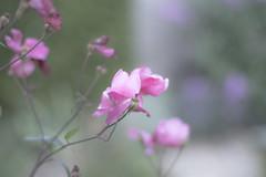 _IMG9404 (edmundrt) Tags: pentax ks2 pentaxks2 smcpentax pentaxiansstandup flower flowers evening bokeh