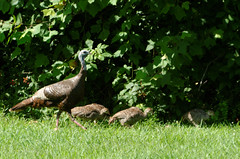 Wild turkeys (timbo on the hill) Tags: dxo summer usa indiana turkey wild bird story remedyranch