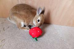 Ichigo san 240 ICHIGO san  (mensore) Tags: family pet brown cute rabbit bunny dwarf netherland ichigo   netherlanddwarf