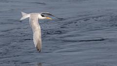 So elegant (Jodi Newell) Tags: bif bird bolsachica california canon elegant fly jodisjourneys jodisjourneysphotosgmailcom nature tern water wetlands