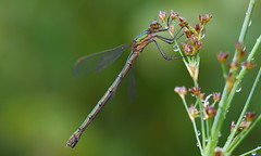 Emerald Damselfly (f) (nick edge) Tags: damselfly damsel dragonfly insect insects macro nikon nikond7200 sigma105mm tregaron tregaronbog corscaron wildlife wildlifephotography bokeh macrophotography nature naturephotography explore explored