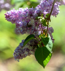 Beautiful Lilac (Jocey K) Tags: christchurch newzealand flower spring lilac abberleypark