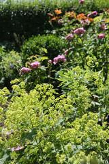 ckuchem-3591 (christine_kuchem) Tags: rose rosa garten vorgarten taglilien frauenmantel staude sommerblumen naturgarten ziergarten landhausgarten biogarten privatgarten gartenstaude