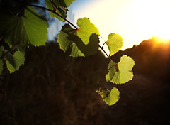 Backlight (BrianMills) Tags: backlight sunlight ambient leaf leaves nature colour sharp