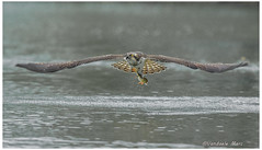 Osprey with prey (fire111) Tags: osprey prey visarend roofvogel predator bird birding wild wildlife nature water fish