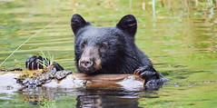 want to join me (wesleybarr1962) Tags: blackbearswimming blackbear bear