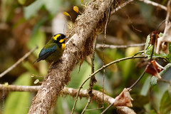 Bangsia aureocincta - Gold-ringed Tanager (danielplow) Tags: bangsiaaureocincta goldringedtanager bangsiadetatam birdsofcolombia birds birding birdwatching colombia colombiabirding canoneos7dmarkii canon7dmarkii 7dmarkii nature aves bangsia