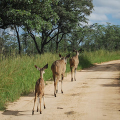three ladies (gil walker) Tags: kudu krugerpark