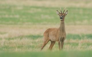 Proud Roe Deer buck
