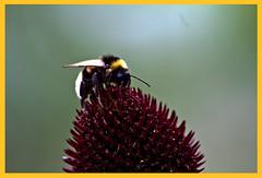 AH62_8166 (der_andyrandy) Tags: insekt blumen blte macro amazingamazing thisphotorocks wow canoneos7d outdoor