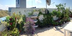 Work Garden Climber Wall (Assaf Shtilman) Tags: climber wall garden plant pots blackberry passionfruit sweet potato