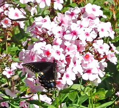 ** Le bel inconnu ** (Impatience_1 (Peu...ou moins prsente)) Tags: papillon butterfly papillonducleri blackswallowtail papiliopolyxenes insecte insect phlox fleur flower m impatience saveearth coth wonderfulworldofflowers citrit alittlebeauty sunrays5 coth5