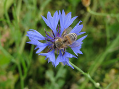 ckuchem-3099 (christine_kuchem) Tags: ackerrand bienenfreund bienenweide blumen blhstreifen feld felder klee landwirtschaft kornblume biene schmetterlingsbltler vogelschutz wiesenblume
