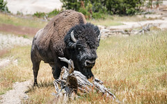 Bison at Mud Volcano 3 (Morten Kirk) Tags: mortenkirk morten kirk mud volcano yellowstone national park ynp usa 2016 sony a7rii a7r ii sonya7rii ilce7rm2 fe 70200mm f4 g oss fe70200mmf4goss sel70200g bison