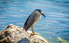 Black Crowned Night Heron (Daveyal_photostream) Tags: heron bird d600 d beautiful beauty beach meandmygear mygearandme mycamerabag motion movement nikon nikor nature newjersey wildwoodnewjersey outdoor sea seabird