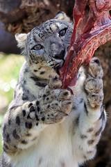 Two-Pawed Clutch (greekgal.esm) Tags: snowleopard leopard bigcat cat feline anna asian animal mammal carnivore enrichment meat food carcass sandiegozoo sandiego california balboapark centennial birthday endextinction sony a77m2 a77mii sal70300g