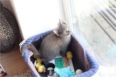 IMG_2498 (murkla_la) Tags: cat russianblue moussie gray graycat