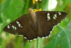 Dull Firetip (Keith Roragen) Tags: arizona insect skipper lepidoptera hesperiidae pyrginae apyrrothrix araxes firetip dullfiretip maderacanyon