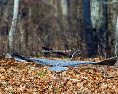 IMG_6508 (lloydsjourney) Tags: wild animal wildlife maine young deer rack lloyd alexander buck antler lloydalexander
