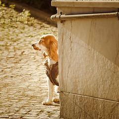 Pause au soleil (JSEBOUVI : thanks for 1.9 million views !) Tags: street dog chien portugal photo nikon flickr foto canine ombre wait rua pause rue oreille ligne attente patte museau tumblr d5100 society6 jsebouvi sbastienbouvier pauseosoleil
