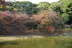 (ddsnet) Tags: travel plant birds japan sony birding autumnleaves resolution  nippon   birdwatching autumnal nihon  ilc backpackers         7r mirrorless   osakafu       interchangeablelenscamera  birdwatchinginjapan  7r ilce7r