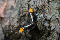 Butterfly (Raam Chamala) Tags: california orange white black tree forest butterfly national bark trunk redwood