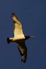 DSC01467 - Oystercatcher (steve R J) Tags: birds norfolk reserve explore oystercatcher british snettisham rspb