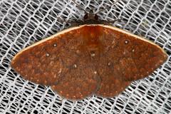 -unidentified (K. Zyskowski and Y. Bereshpolova) Tags: brazil geometridae amazonas unidentified yavari javari palmari