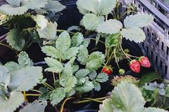 la fraise (Paro Nguyen) Tags: photography strawberry vietnam dalat lafraise đàlạt