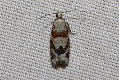 Epinotia radicana (Red-Striped Needleworm Moth) Hodges # 3269. (Nick Dean1) Tags: insect washington moth insects lepidoptera washingtonstate animalia arthropoda everett arthropod hexapod insecta washingtonusa hexapods hexapoda 3269 torticidae epinotiaradicana southeverett hodges3269 redstripedneedlewormmoth