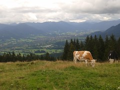 Kuh auf einer Alm (frl.zitrone) Tags: grass kuh cow milk view bell wiese alm aussicht milch glocke