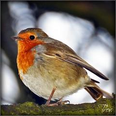 Robin (Trev Grant) Tags: uk robin birmingham erithacusrubecula ngc npc europeanrobin 2015 pypehayespark 23rdfebruary2015