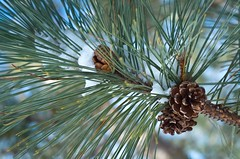 Cones and Needles (afternoon_dillight) Tags: winter red snow cold tree nature pine woods pinus resinosa