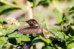 Anna's Hummingbird (Calypte anna) (BiteYourBum.Com Photography) Tags: california usa apple hummingbird unitedstates annas canonef1740mmf4lusm allrightsreserved annashummingbird palosverdes ipad calypteanna palosverdespeninsula southcoastbotanicgarden focusstacking rollinghillsestates macpro canonefs60mmf28macrousm biteyourbum palosverdeshills canoneos7d appleipad lrenfuse dawnandjim canonspeedlite430exii sigma50500mmf4563dgoshsm loweproprorunner350aw lightroom5 biteyourbumcom camranger copyright©2014biteyourbumcom