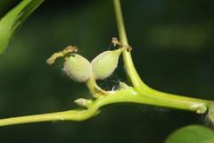 Juglans regia, Walnuss, junge Nsse (julia_HalleFotoFan) Tags: walnuss juglans juglansregia ripeningfruit reifendenuss