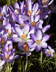 LBG Crocus Sunday 1 (Lostash) Tags: flowers plants nature spring flora seasons leicester crocus leicesterbotanicalgardens crocussunday