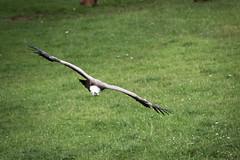 griffon valture (Cloudtail) Tags: bird animal bad vulture tier vogel griffon wildpark geier gyps fulvus mergentheim gnsegeier