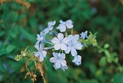 Tenderness and Mysteriousness (Nastasiya-k) Tags: flowers blue light summer italy film colors sicily sicilia scopello florae canoneos300v cn200pro