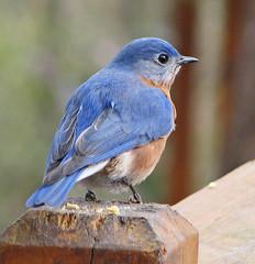 a New Year's bluebird