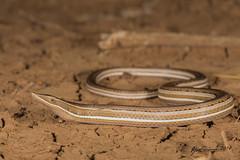 Burtons Legless Lizard (R. Francis) Tags: qld queensland mckinlay lialisburtonis burtonsleglesslizard ryanfrancis ryanfrancisphotography mitchellgrasslands